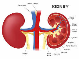Top Tips to Protect Your Kidney and Keep them Healthy