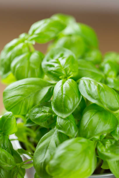 10 Surprising Health Benefits of Basil or Tulsi in Hindi